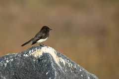 Black phoebe perched on a rock Stock Images