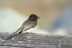 Black phoebe perched on a wooden fence Stock Photography