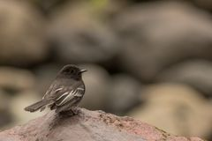 Black phoebe. This is a photo of a black phoebe taken in Ecuador royalty free stock photo