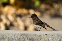 Black Phoebe, Sayornis nigricans Royalty Free Stock Images