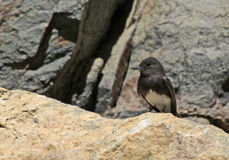 Black Phoebe Royalty Free Stock Images