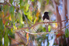 Black Phoebe (Sayornis nigricans) perched on a tree branch Royalty Free Stock Image