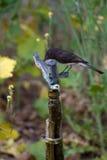 Black Phoebe, Sayornis nigricans Royalty Free Stock Image