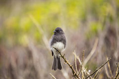 Black Phoebe Sayornis nigricans Stock Photography