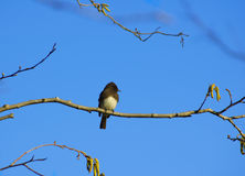 The Black Phoebe sitting on a branch Royalty Free Stock Photography