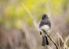 Black Phoebe (Sayornis nigricans) Stock Photo