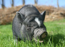 Black pig. On a lawn Royalty Free Stock Photos