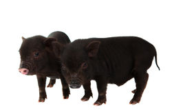 Black pig. On a white background stock image