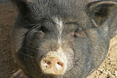 Black pig. A black pig's face royalty free stock photos