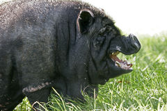 Black Pig Stock Image