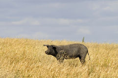 Black pig. Blacl pig in the fields of Alentejo, Portgal stock photos