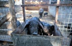 Black pig brood at his enclosure on a farm. Black pigs cattle brood look from their enclosure on a farm near the village of Bunyola, in the Spanish mediterranean Stock Photos