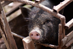 Black pig in the Cage Stock Photo