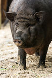 Black Pig Closeup Stock Photos