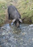 Black pig drinking from flowing stream Royalty Free Stock Photo