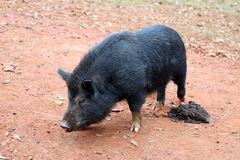 Black pig dung Royalty Free Stock Images