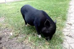 Black pig eating grass and turning to look at camera. Black pig eating grass and turning to look at camera stock video