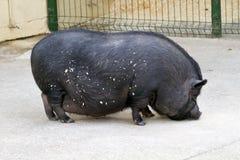 Black pig farm stock photography