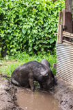 Black pig. In a farm Stock Photography
