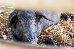 Black pig. In a farm Stock Photo