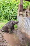 Black pig. In a farm Royalty Free Stock Photos