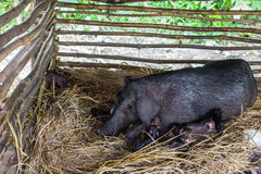 Black pig. In a farm Stock Images