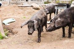 Black pig. In a farm Stock Photos