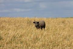 Black pig Stock Photography