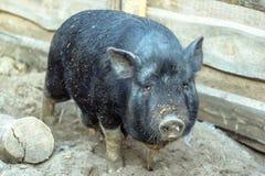Black pig on the farm. Royalty Free Stock Photos