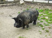 Black Pig in a field Royalty Free Stock Image