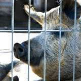 Black pig. A head portrait of a cute black pig  a farm Royalty Free Stock Photo