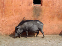 Black pig in India. Black pigs looking for food in trashcan in India. Dirty indian streets and animals searching for food among rubbish and trash Royalty Free Stock Photos