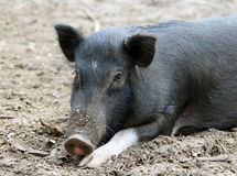 Black pig, India. Black pig resting on the ground Stock Photos