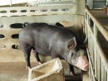 Black pig. Black kurobuta pig in stable Royalty Free Stock Image