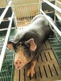 Black pig. Black kurobuta pig in stable Stock Photos