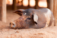 Black Pig. The black pig in Lahu village (North Tayland Stock Photography