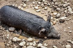 Black Pig Laying in a Mud Puddle stock photo