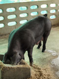Black pig. Black little pig in stable Royalty Free Stock Photos