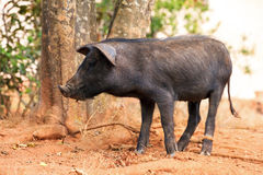 Black pig Madagascar Royalty Free Stock Images