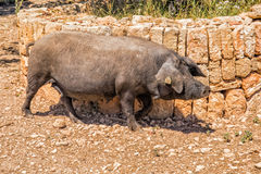 Iberian Black Pig, Mallorca. Royalty Free Stock Photos