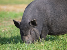The black pig on a meadow Stock Photo