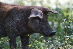 Black pig in the middle of nature Royalty Free Stock Image
