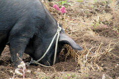 Black pig. In the mud, domestic animal in nature stock image