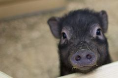 Muzzle of a black pig with a stigma in the foreground. Black pig. Muzzle of a piglet. Little pig. The stigma of a piglet Stock Images