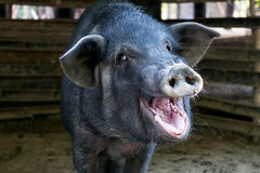 Black pig opened mouth yawn in sty Stock Image