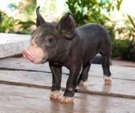 Black pig. Pic of black pig,Kurobuta Royalty Free Stock Photo