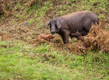 Black pig and pink pigglets in the meddow Royalty Free Stock Image