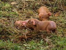 Black pig and pink pigglets in the meddow Royalty Free Stock Photography