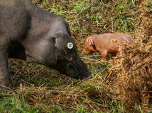 Black pig and pink pigglets in the meddow Stock Photo