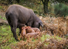 Black pig and pink pigglets in the meddow Royalty Free Stock Photo